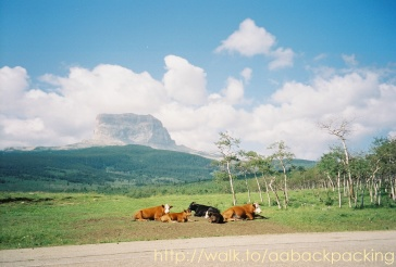 Chief Mountain and cows